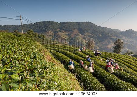 Tea Plantation At Doi Mae Salong , Chiang Rai, Thailand.