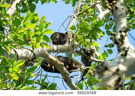 Endemic Sulawesi Cuscus Bear On The Tree