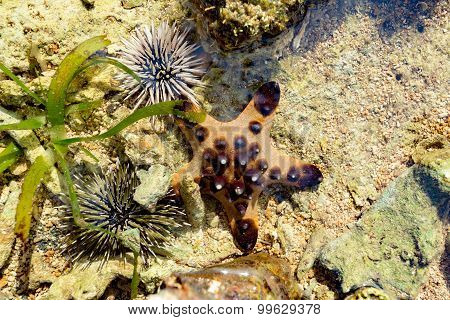 Sea Urchin And Starfish On The Sea Bed