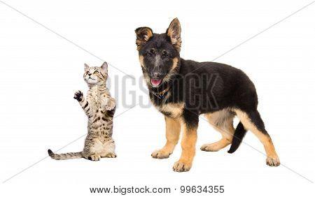 German Shepherd puppy and a playful cat Scottish Straight