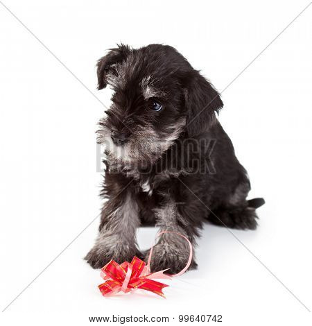Miniature Schnauzer Puppy over White Background
