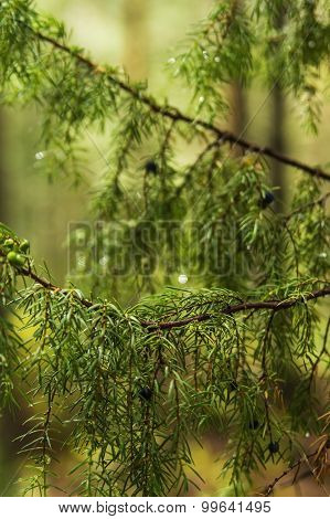 background blurred branches of juniper berries in a forest
