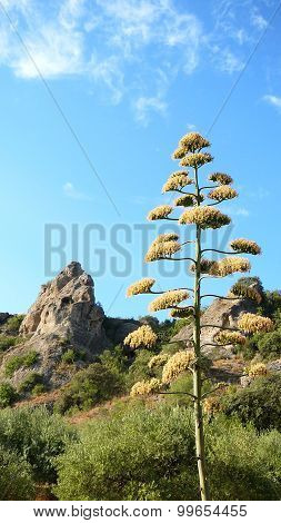 Flowering Agave