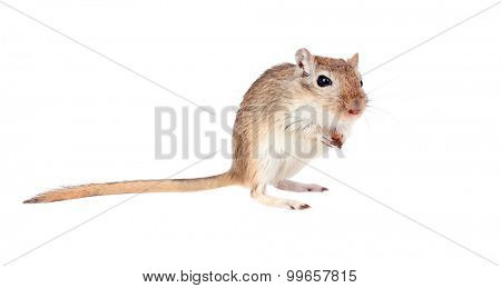 Funny gergil with a nut in his hands isolated on a white background
