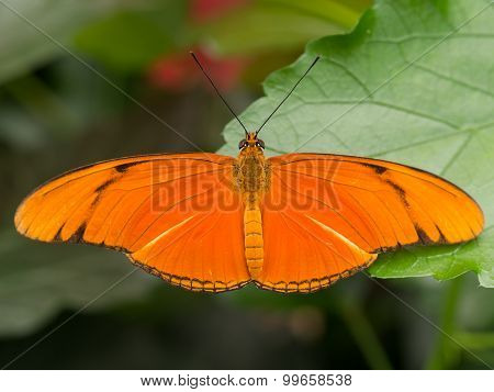 Large Orange Tropical Butterfly Showing Full Wingspan