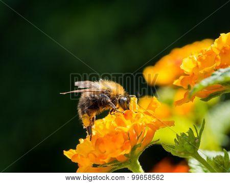 Bee On Lantana Camara