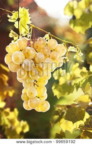 Small cluster of grapes at the sunlight. Muscat.