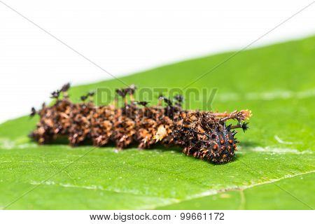 Common Commander Caterpillar