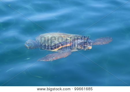 Caretta Loggerhead Sea Turtle