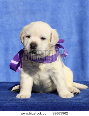 The Nice Labrador Puppy On A Blue Background