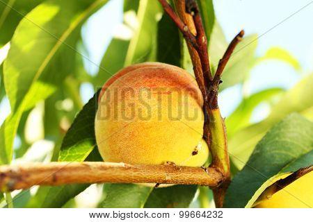 Branch of peach tree, closeup