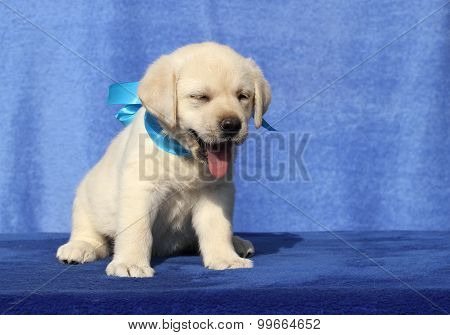 Cute Little Labrador Puppy On A Blue Background