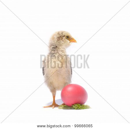 Little Chicken Animal With Easter Eggs On White