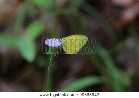 Lemon Emigrant Butterfly (Catopsilia pomona)