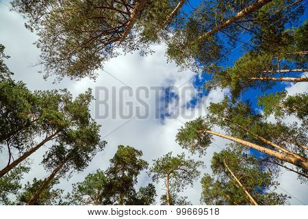 The Tops Of Pine Trees Against The Sky