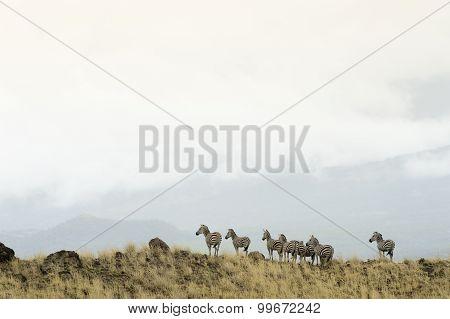 Zebra's on hilltop