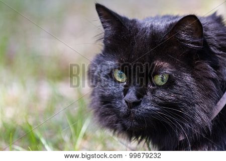 Cat Wearing A Harness