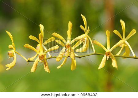 Orchids of equatorial Borneo.