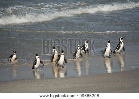 African Penguins On The Shore