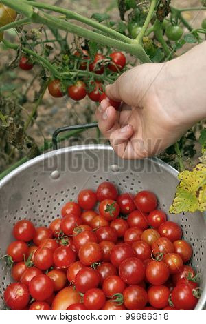 Picking The Last Of The Garden Cherry Tomatoes