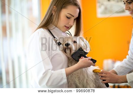 Care and nurturing of beautiful Maltese dog in vet clinic
