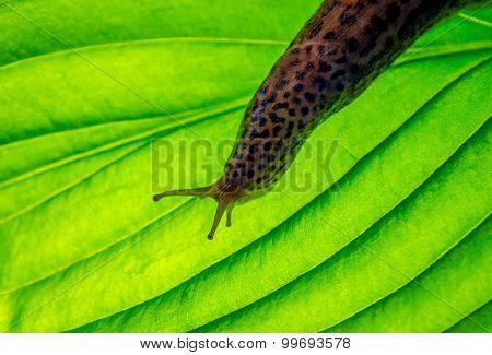 Leopard Slug On Hosta Leaf
