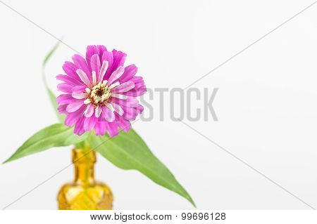 Zinnia Flower In Yellow Vase