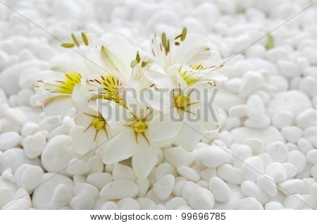 gardenia with white pebbles