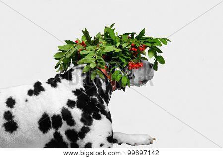 Dalmatian Dog Hunting In Disguise