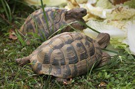 image of russian tortoise  - Russian tortoise  - JPG
