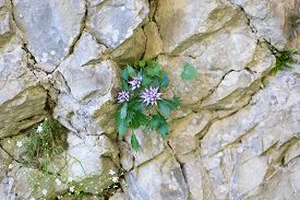 image of rare flowers  - A close up of a physoplexis comosa tufted horned rampion rare flower Italian Alps - JPG