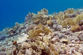 pic of fire coral  - coral reef with fire corals at the bottom of tropical sea underwater - JPG