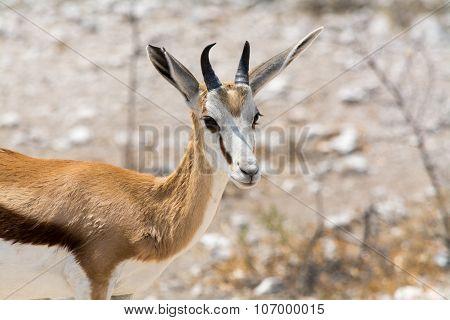 Springbok In The Desert.