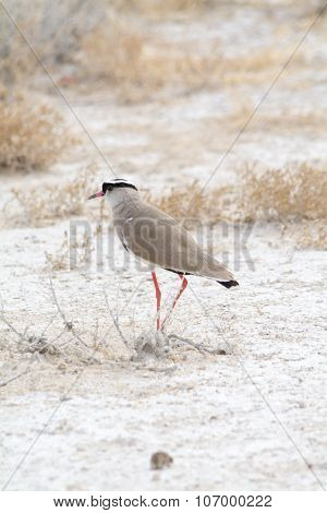 Crowned Lapwing.