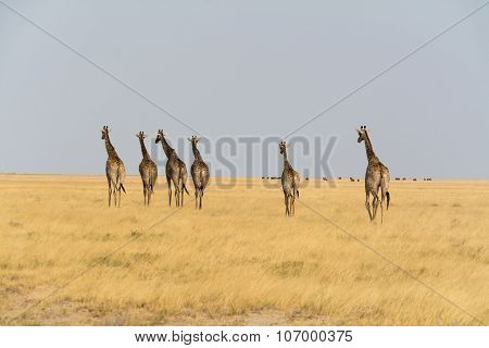 Six Giraffes Walking.