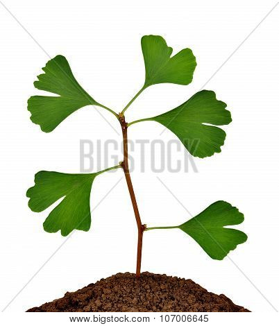 Ginkgo biloba plant