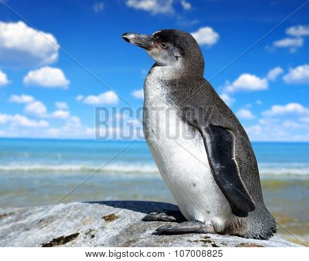 The Humboldt Penguin