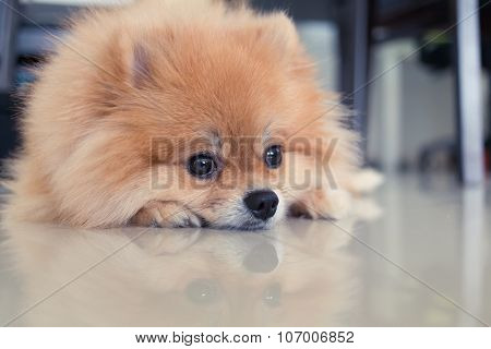 Pomeranian Dog Cute Pets In Home