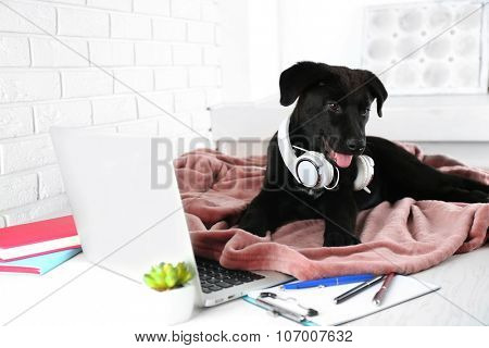 Friendly Labrador retriever puppy with headphones on rosy blanket on office table