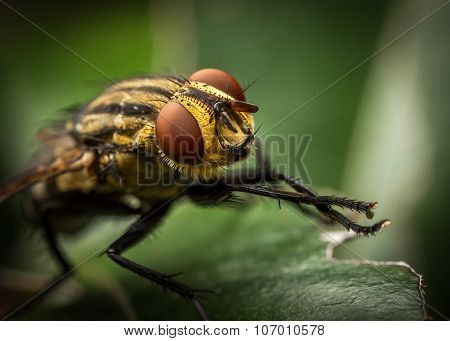 Striped Fly