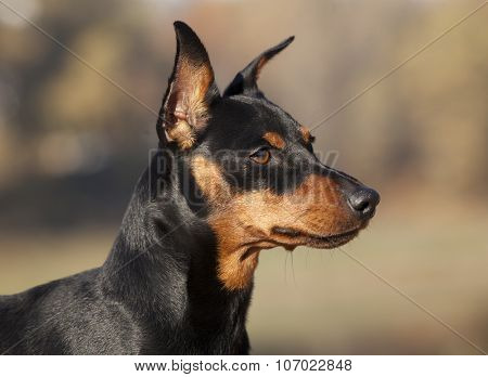 Miniature Pinscher dog. Close-up portrait