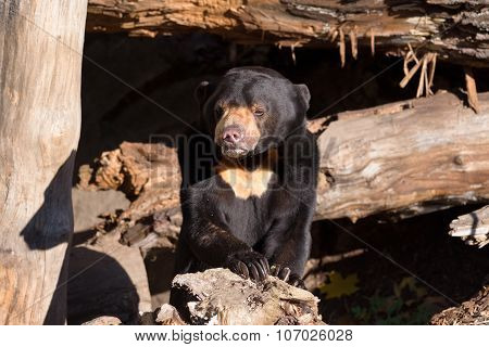 Sun Bear Also Known As A Malaysian Bear