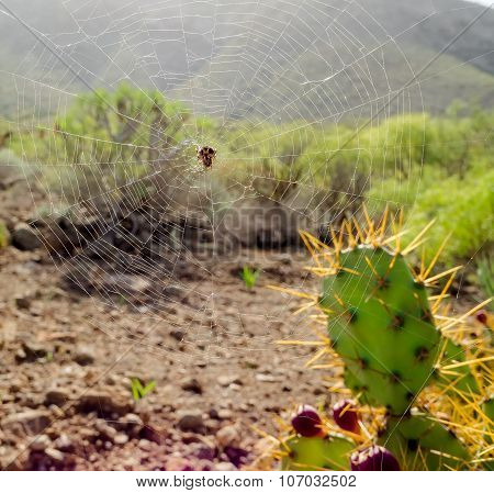 Close-up Spider Web And Opuntia Ficus-indica Is A Species Of Cactus. Tenerife, Canary Islands. Spain