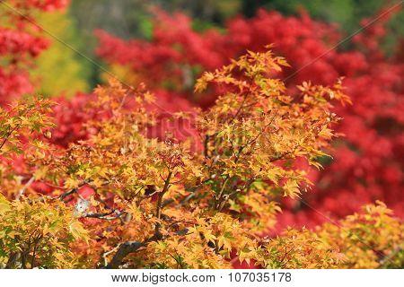 Autumn Leaves Of Adashino Nenbutsu-ji