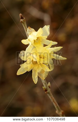 Chimonanthus Praecox (Wintersweet)