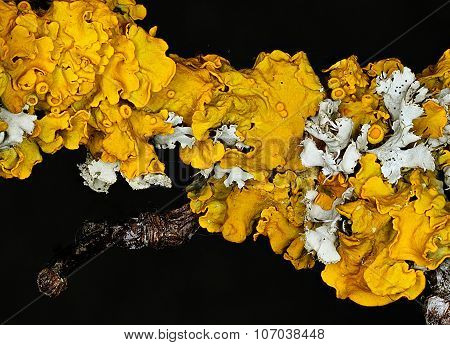 Common Orange Lichen (Xanthoria parietina)
