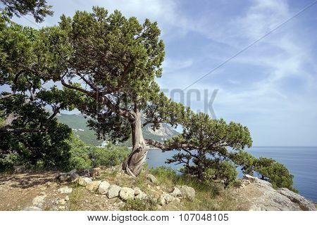 Beautiful Crimean Juniper Tree On  Hillside Near The Black Sea.