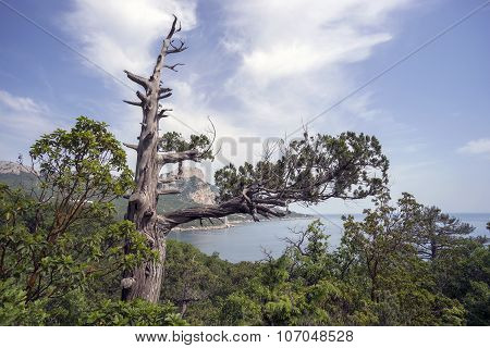 Dry Crimean Juniper Tree On  Hillside Near The Black Sea.