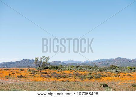 Field Of Indigenous Orange Daisies