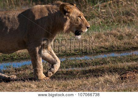 Lioness In Botswana